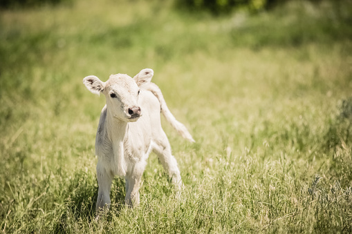Dairy Farm「White Charolaise calf standing in green grassy meadow」:スマホ壁紙(16)