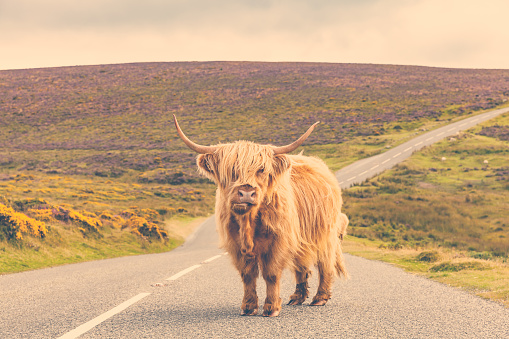動物の赤ちゃん「Lonely highland cattle on a country road」:スマホ壁紙(8)