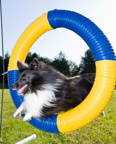 Dog Agility「Sheltie jumping through agility tire jump」:スマホ壁紙(19)