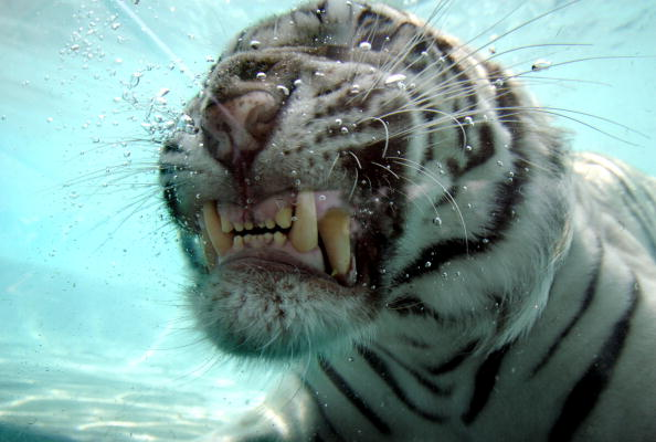 Animal Wildlife「Rare White Tiger Swims For His Supper」:写真・画像(5)[壁紙.com]