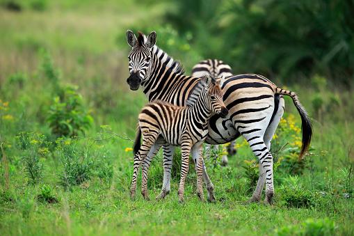 Zebra「Plains Zebra, Burchell, (Equus quagga burchelli), adult with young, Hluhluwe Umfolozi Nationalpark, Hluhluwe iMfolozi Nationalpark, KwaZulu Natal, South Africa, Africa」:スマホ壁紙(11)