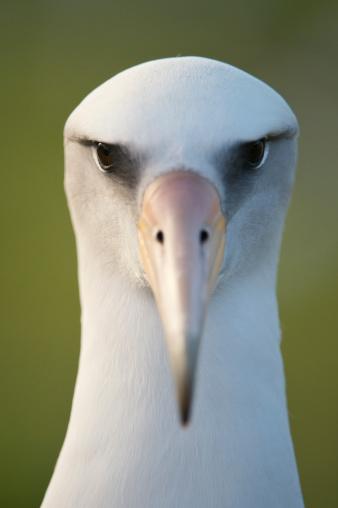 Frowning「Laysan Albatross (Phoebastria immutabilis), Midway Atoll, Northwestern Hawaiian Islands」:スマホ壁紙(14)