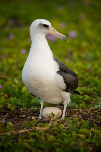 morning glory「Laysan Albatross (Phoebastria immutabilis) standing over egg in beach Morning Glory, Midway Atoll, Northwestern Hawaiian Islands」:スマホ壁紙(10)