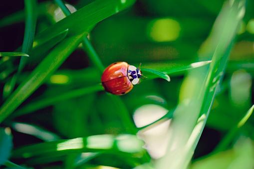 Love fortune「Ladybird perching on blade of grass」:スマホ壁紙(15)