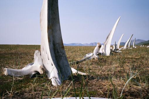 セイヨウカジカエデ「Russia, Itygran Island, Whale Bone Alley, whale bones in field」:スマホ壁紙(14)
