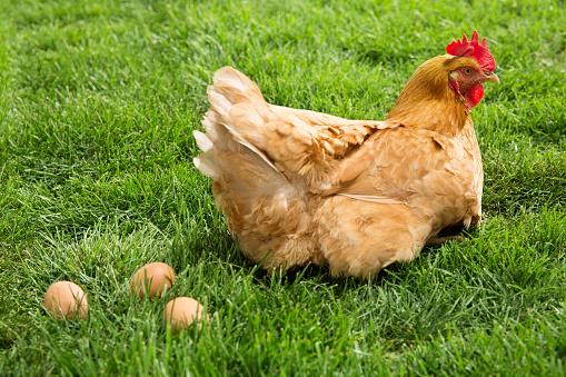 Hen「Hen」:スマホ壁紙(2)