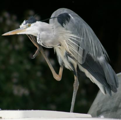 Grooming - Animal Behavior「Heron scratching」:スマホ壁紙(13)