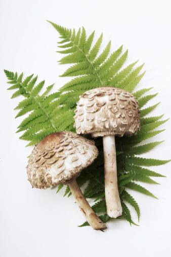 Frond「Parasol mushrooms, elevated view」:スマホ壁紙(15)