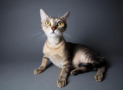 猫「黄色の大きな目のネコ科の動物」:スマホ壁紙(11)