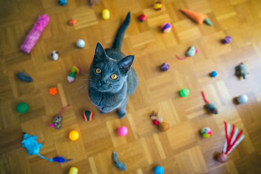 Purebred Cat「Chartreux Cat Sitting Among Toys」:スマホ壁紙(4)