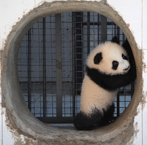 Bestof「Giant Pandas At China Giant Panda Protection and Research Center In Yaan」:写真・画像(4)[壁紙.com]