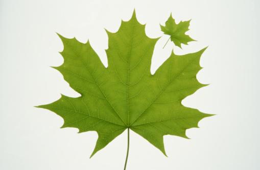 かえでの葉「Two Norwegian maple leaves, one large and one small, close-up」:スマホ壁紙(18)