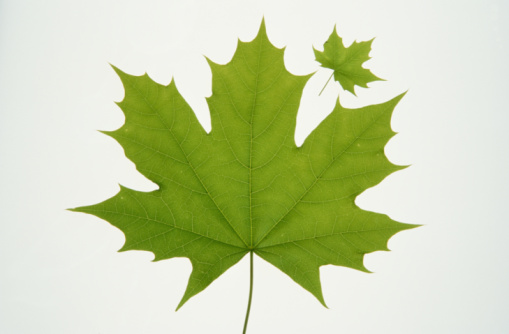 かえでの葉「Two Norwegian maple leaves, one large and one small, close-up」:スマホ壁紙(9)