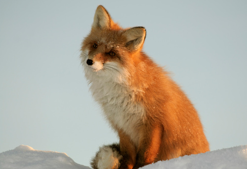 Fox「Fox sits on snowdrift and dreams at sunset light.」:スマホ壁紙(14)