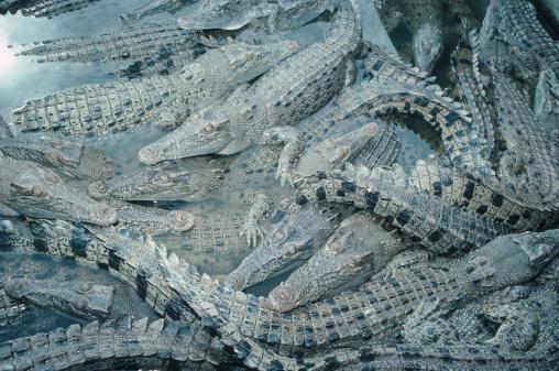 アデレード川「Crocodiles in Pile」:スマホ壁紙(3)