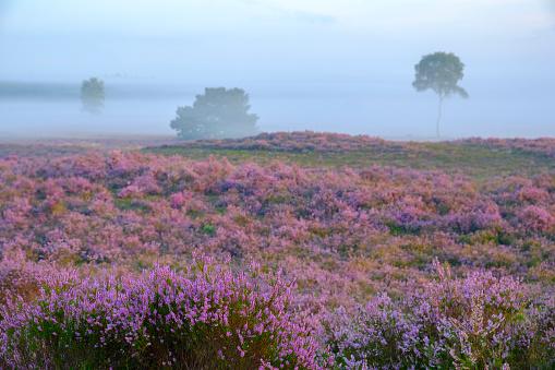 Pink「夏の日の出中にヒース風景でヒース植物を開花」:スマホ壁紙(10)