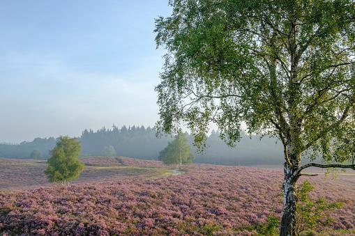 落葉樹「夏の日の出中にヒース風景でヒース植物を開花」:スマホ壁紙(3)