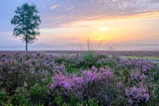 落葉樹「夏の日の出中にヒース風景でヒース植物を開花」:スマホ壁紙(5)