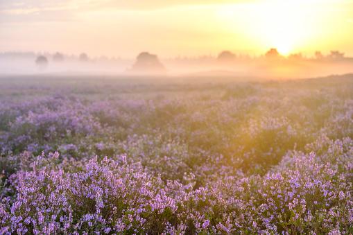Pink「夏の日の出中にヒース風景でヒース植物を開花」:スマホ壁紙(8)