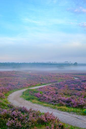 Pink「夏の日の出中にヒース風景でヒース植物を開花」:スマホ壁紙(15)