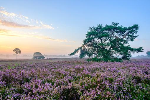 Pink「夏の日の出中にヒース風景でヒース植物を開花」:スマホ壁紙(9)