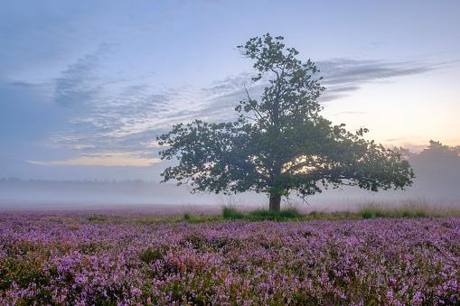 落葉樹「夏の日の出中にヒース風景でヒース植物を開花」:スマホ壁紙(4)