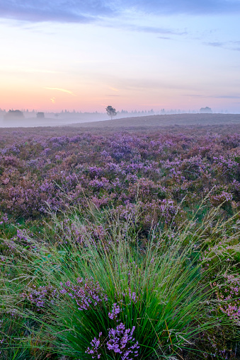 Pink「夏の日の出中にヒース風景でヒース植物を開花」:スマホ壁紙(11)