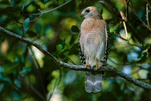 Hawk - Bird「Red Shouldered Hawk」:スマホ壁紙(6)