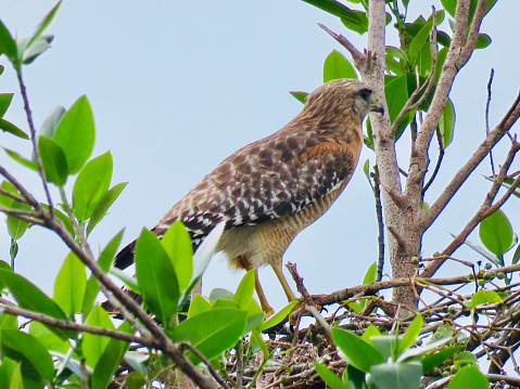 Hawk - Bird「Red Shouldered Hawk Profile」:スマホ壁紙(9)