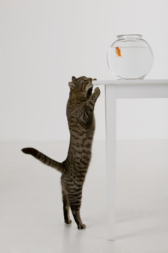 Fishbowl「Cat and goldfish」:スマホ壁紙(19)