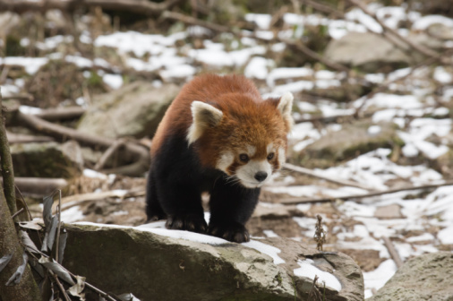 パンダ「Red panda on a rock, Wolong, China」:スマホ壁紙(10)