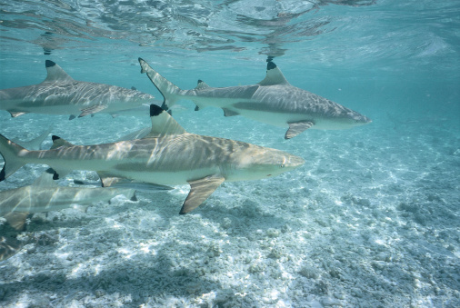 Shallow「Blacktip Reef sharks swim in shallow water. Carcharhinus melanopterus.」:スマホ壁紙(11)