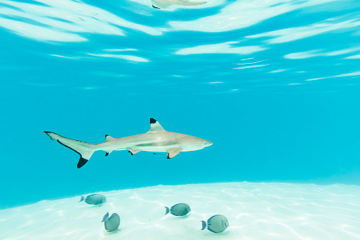 Shark「Blacktip Reef Sharks Swimming in Clear Turquoise Water」:スマホ壁紙(2)