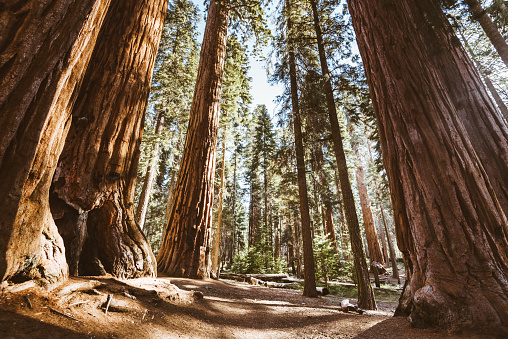 1980-1989「sequoia national park trees」:スマホ壁紙(0)