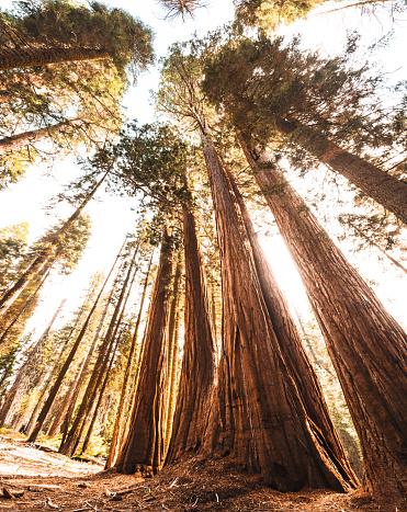 1980-1989「sequoia national park trees」:スマホ壁紙(11)