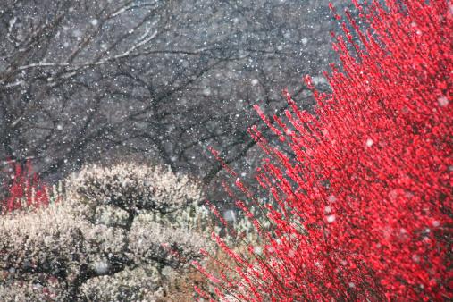 梅の花「Japanese Apricot」:スマホ壁紙(4)