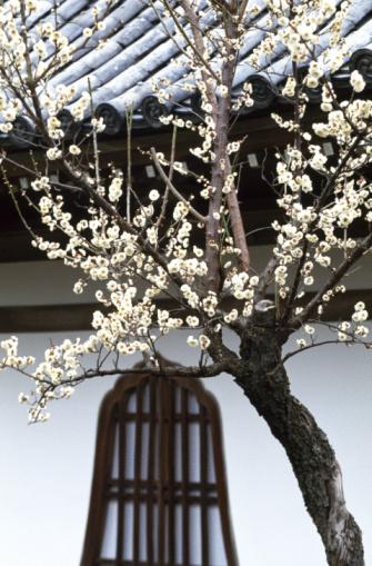 梅の花「Japanese apricot and architecture」:スマホ壁紙(2)