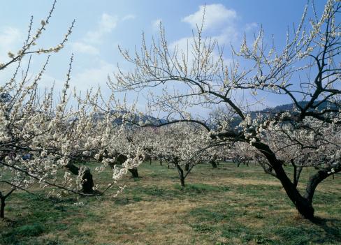 梅の花「Japanese Apricot Blossoms at Ogose-bairin, Ogose, Saitama, Japan」:スマホ壁紙(7)