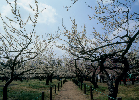 梅の花「Japanese Apricot Blossoms at Ogose-bairin, Ogose, Saitama, Japan」:スマホ壁紙(8)