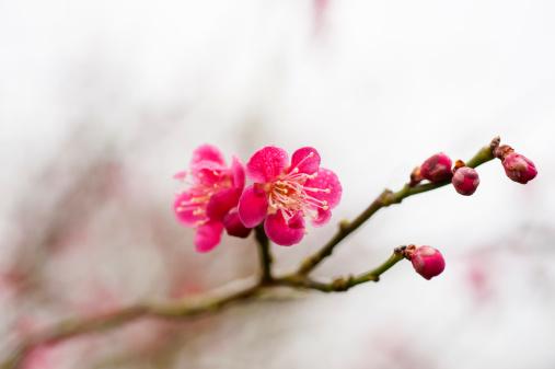 梅「Japanese apricot in blossom」:スマホ壁紙(18)