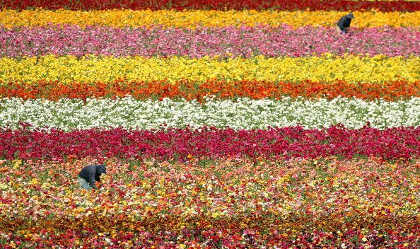 Donald Miralle「Sea Of Color Spreads Out At Flower Fields Of Carlsbad Ranch」:写真・画像(4)[壁紙.com]