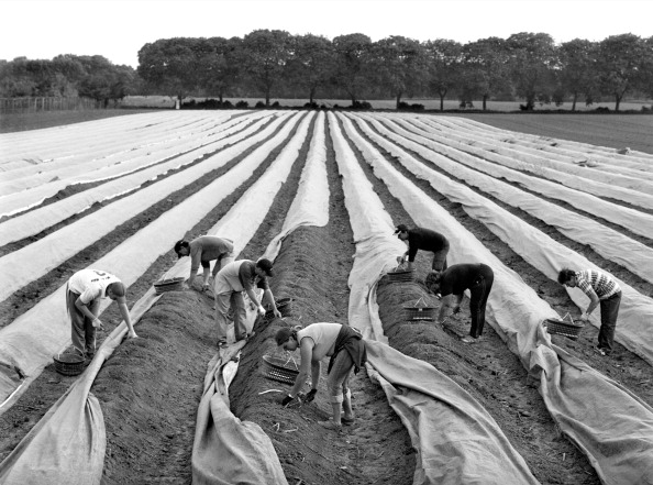 Asparagus「European Agriculture」:写真・画像(16)[壁紙.com]