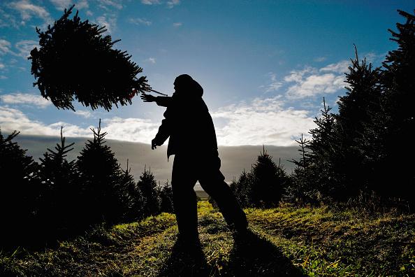 Christmas Tree「Dumfries Farm Finishes Their Christmas Tree Harvest」:写真・画像(17)[壁紙.com]