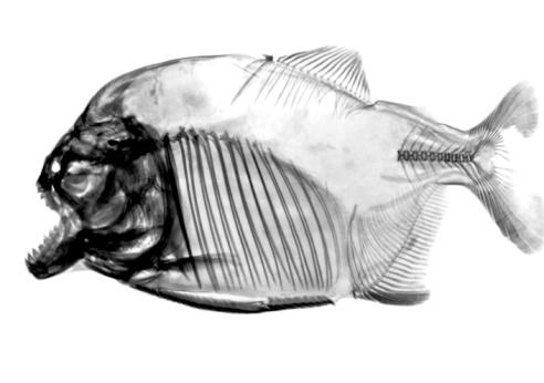 Animal Skeleton「inverted fish x-ray」:スマホ壁紙(16)