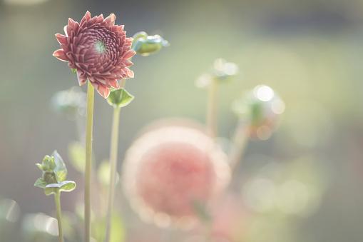 Inflorescence「Dahlia at sunlight」:スマホ壁紙(8)