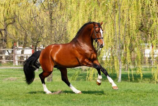 Horse「Holsteiner stallion galloping」:スマホ壁紙(12)