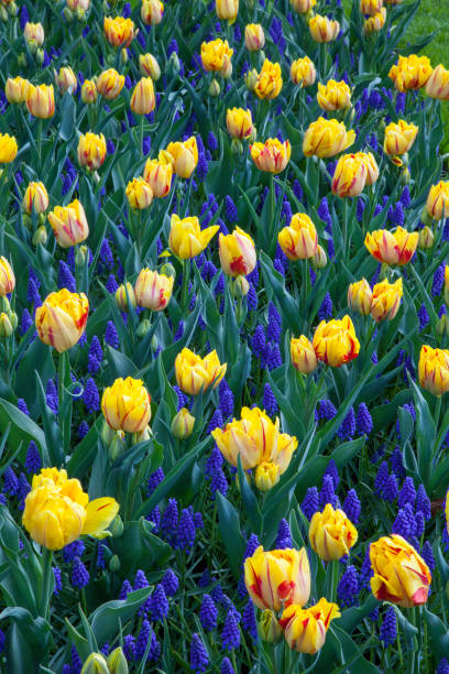Blue lupines (Lupinus) and yellow tulips (Tulipa) in Keukenhof Gardens, Lisse, Netherlands:スマホ壁紙(壁紙.com)