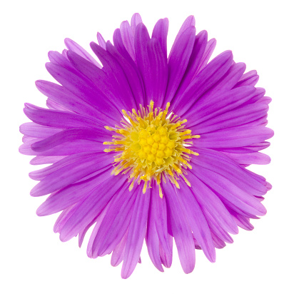 Aster「Pretty magenta aster flower flattened on white」:スマホ壁紙(2)