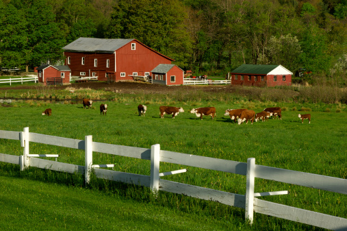 Organic「Cows on green field pasture with white fence」:スマホ壁紙(4)