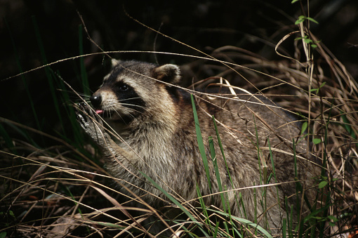 Ocala National Forest「Raccoon Licking Its Paw」:スマホ壁紙(18)